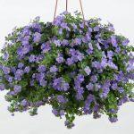 Bacopa_Purple
