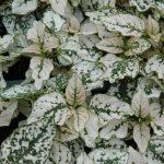 Polkadot Plant White