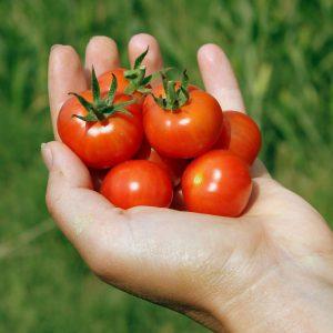 Juliet Tomatos - Greenhouse to Garden