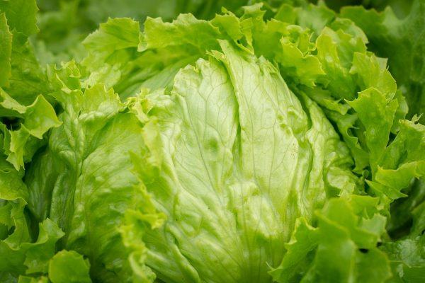 Head Lettuce Greenhouse to Garden