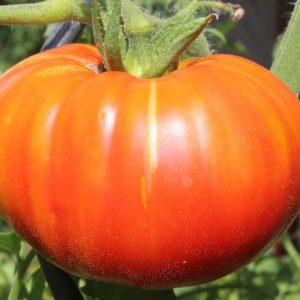 Beefsteak Tomatos - Greenhouse to Garden