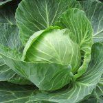 Cabbage Greenhouse to Garden