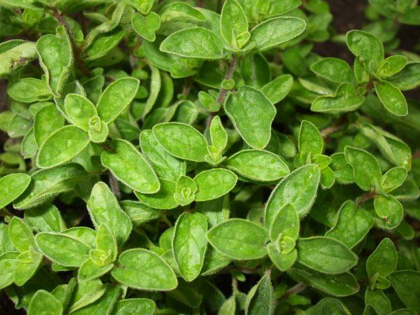 Oregano Plant - Greenhouse to Garden