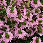 Scaveola Pink - Greenhouse to Garden