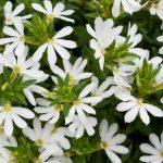 Scaveola White - Greenhouse to Garden
