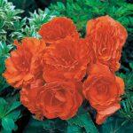 Tuberous Non-Stop Begonia Orange