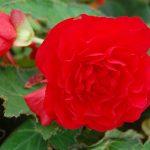 Tuberous Non-Stop Begonia Red