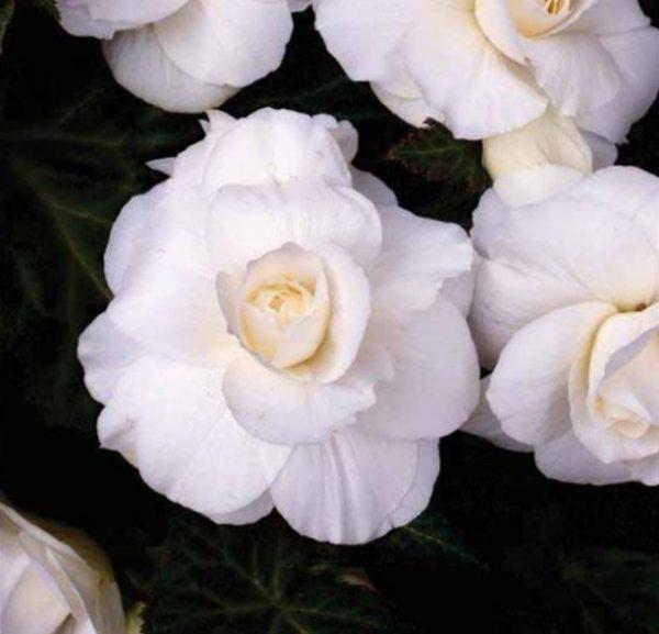 Tuberous Non-Stop Begonia White