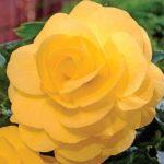Tuberous Non-Stop Begonia Yellow