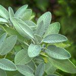 Sage Plant - Greenhouse to Garden