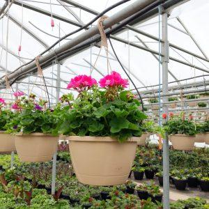 Geranium Bright Pink