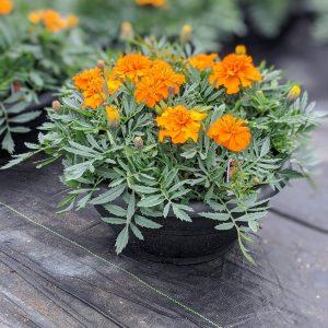 Marigold Orange Planter