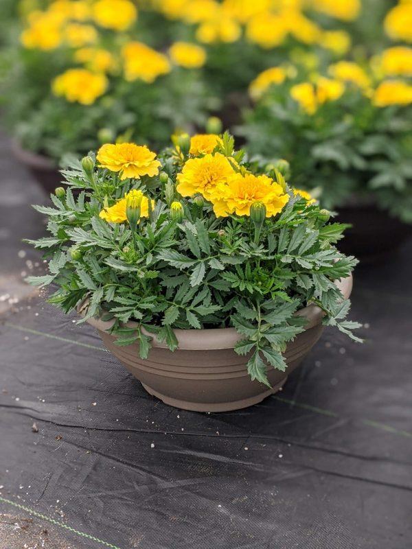 Marigold Yellow Planter