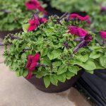 Petunia Bowl Burgundy
