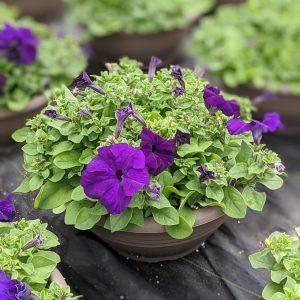 Petunia Bowl Purple