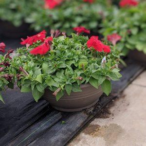 Petunia Bowl Red