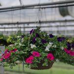 Petunia Mix Hanging Basket