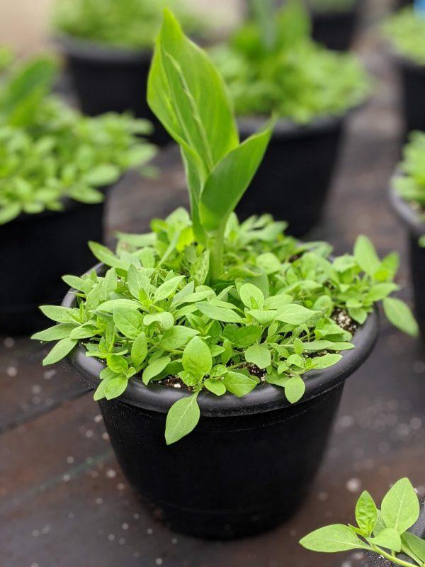 Canna Mix Planter