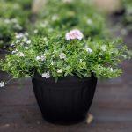 Geranium Bacopa Planter