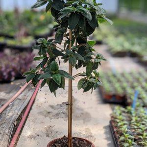 Lantana Plant Yellow