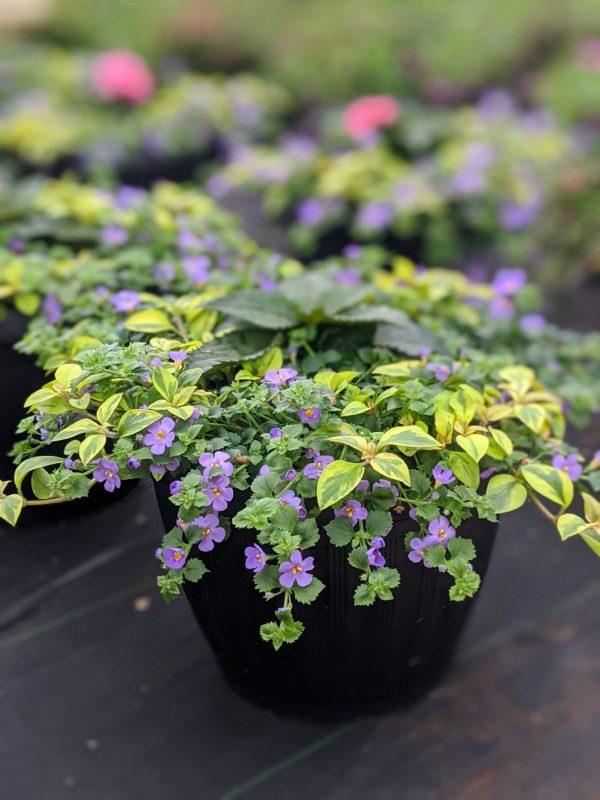 New Guinea Bacopa Planter