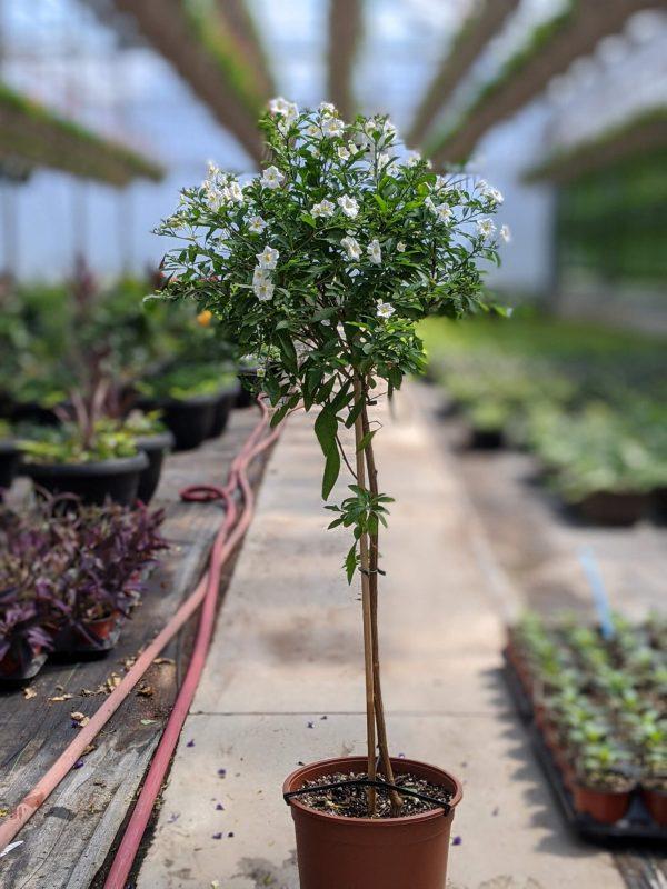 Solanum Plant White